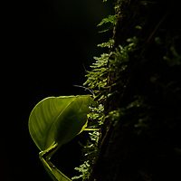 In the Borneo rainforest, leaves are not always what they seem. Here, a beam of sunlight filtering down from the canopy illuminates an extraordinary insect. Officially described and named just last year, this leaf katydid (Eulophophyllum lobulatum) is one of two species in its genus on mainland Borneo that share the unusual wings and leaf-like legs, rendering it a marvel of animal crypsis. Although this male specimen is lime-green, females bear a striking pinkish coloration. Mount Kinabalu, Sabah, Malaysia.