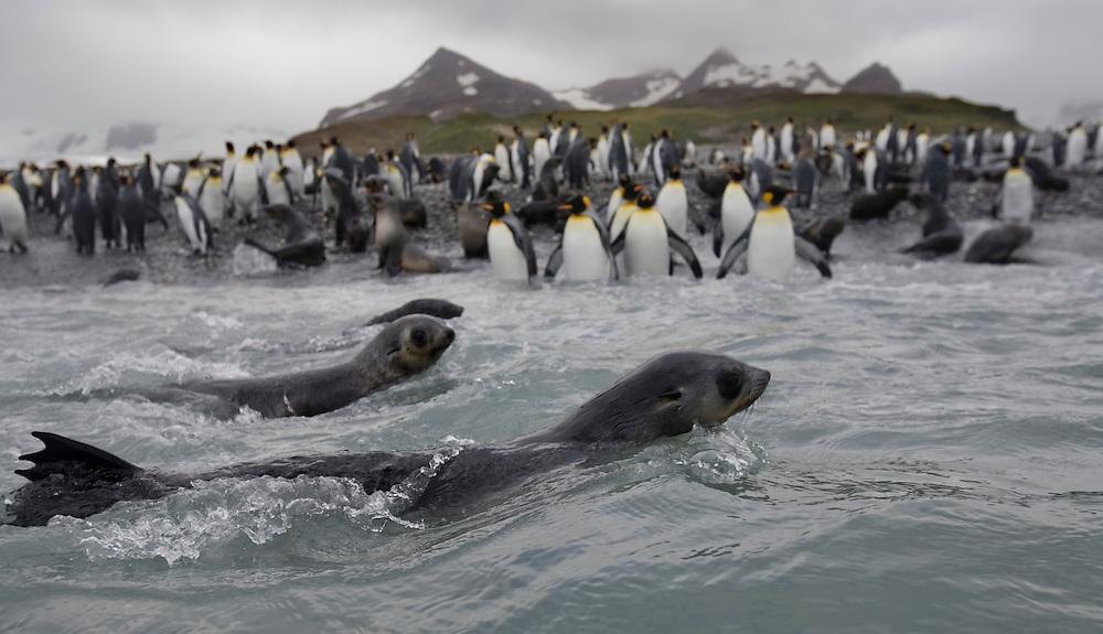 Antarctica, South Georgia Island (UK), Antarctic Fur Seal (Arctocephalus gazella) swimming in surf near crowded King Penguin rookery at Salisbury Plains