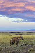 Spotted Hyena<br /> Crocuta crocuta<br /> At sunset<br /> Masai Mara Conservancy, Kenya