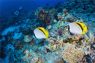 Lined butterflyfish (Chaetodon lineolatus)