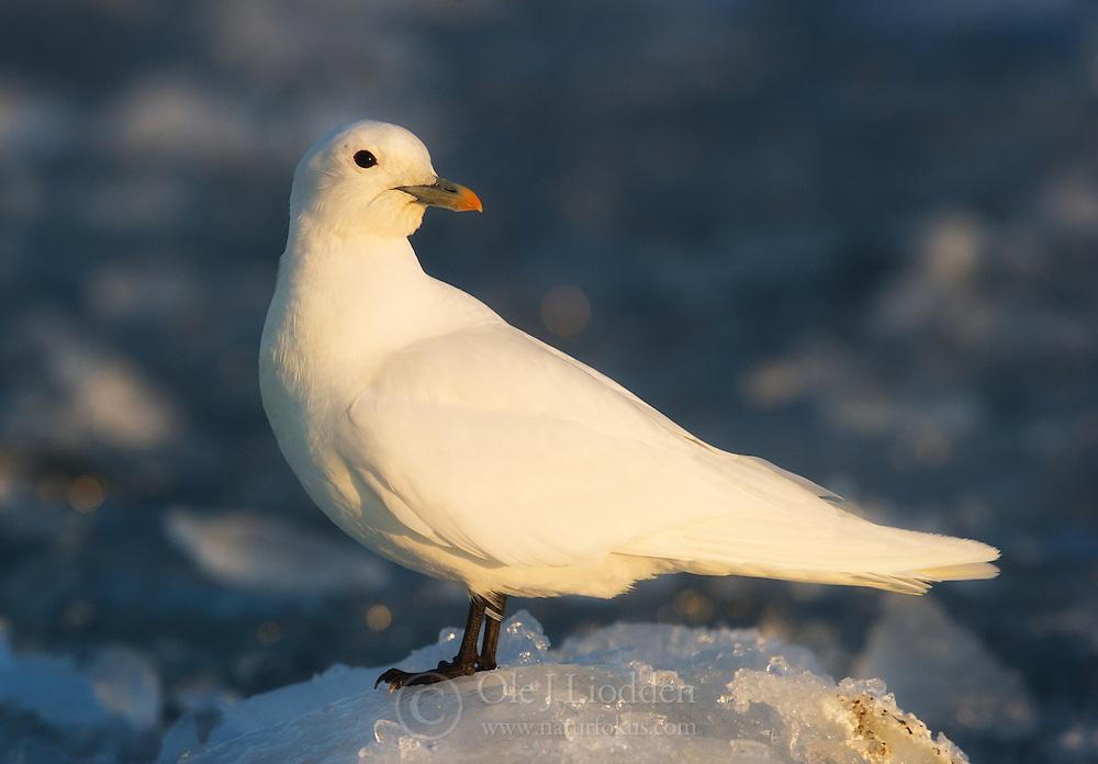Ivory Gull (Pagophila eburnea) resting on ice, Spitsbergen, Svalbard