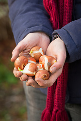 Handful of tulip bulbs ready to plant out