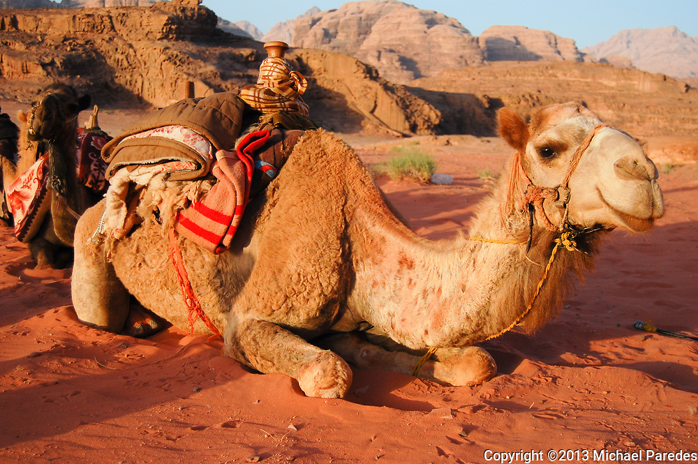 A camel rests in the Jordanian desert of Wadi Rum