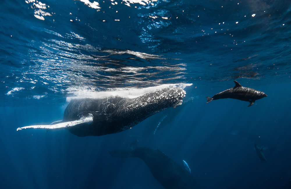 A bottle-nosed dolphin rides the bow wave created by a huge humpback whale.