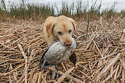 Ten-year-old Yellow Lab, Rosie, brings in a Canvasback drake during a hunt in Manitoba.