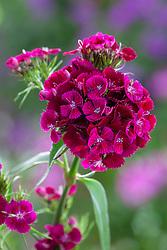 Dianthus barbatus F1 'Sweet Purple'. Sweet William