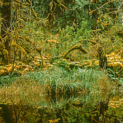 Beaver dam flooded area of western hemlock (Tsuga heterophylla) and Sitka spruce (Picea sitchensis) temperate rain forest, with devil's club (Oplopanax horridus) and western skunk cabbage (Lysichiton americanus), Kadashan River Valley, Chichagof Island, USA.<br />