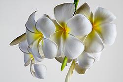 Plumeria alba, Frangipani#6