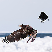 JAPAN, Eastern Hokkaido.Sub-adult white-tailed sea eagle (Haliaeetus albicilla) with fish in flight