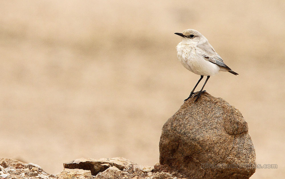 Tractrac Chat, Emarginata tractrac, nr Rooibank, Namibia, by Adam Riley