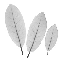 X-ray image of a rhododendron leaf trio (Rhododendron, black on white) by Jim Wehtje, specialist in x-ray art and design images.