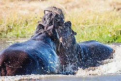 Two male hippopotamus (Hippopotamus amphibious) aggressively fighting over territory in the water, Khwai River, Botswana
