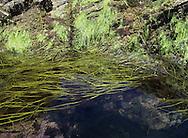 Thongweed - Himanthalia elongata