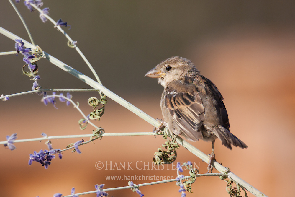 A song sparrow perches on a small branch with puple flowers