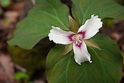 Painted Trillium, Trillium undulatum, in the White Mountain National Forest