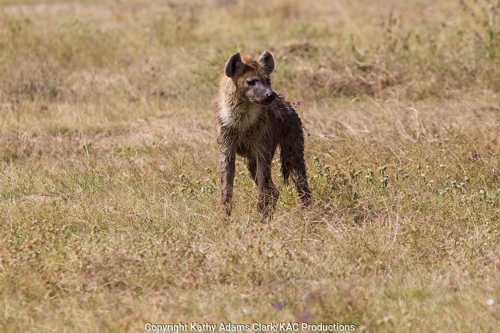 spotted hyaena, laughing hyaena, hyena, Crocuta crocuta, Ngorongoro Creater, Ngorongoro Conservation Area, Tanzania, Africa.