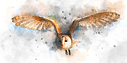 Digitally enhanced image of a barn owl (Tyto alba) in flight