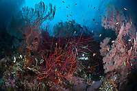 The strong currents in the Misool area create perfect conditions for filter feeders such as sea whips and many of the dive sites have huge fields of fans and whips.  The reefs of Raja Ampat are some of the most diverse and healthiest in the world.