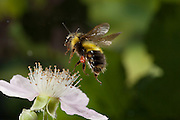 Native Bumblebee (bombus mixtus) on a blackberry flower (Rubus armeniacus) - Western Oregon. © Michael Durham / www.DurmPhoto.com