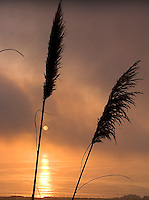 Pampas Grass at Sunset, Pacifica, California