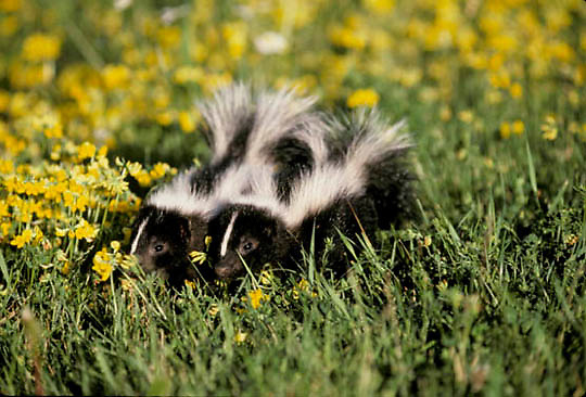 Striped Skunk, (Mephitis mephitis) Two young skunks crossing blooming meadow of yellow birdfoot trefoil flowers.  Captive Animal.