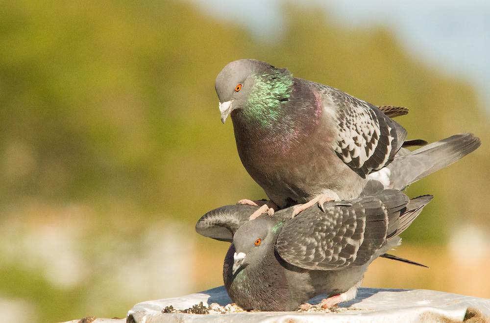 Pigeons during mating season in the spring of 2014