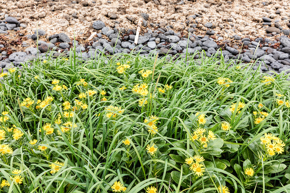 Beach Fleabane (Senecio pseudo-arnica) grows from the volcanic soil of St. Paul Island in the Pribilofs in Southwest Alaska. Summer. Morning.