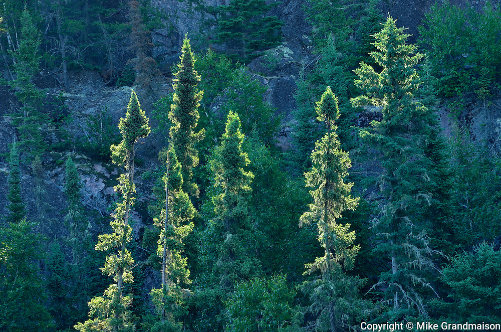 Coniferous (evergreen) trees growing on hillside in boreal forest <br /> Nopiming Provincial Park<br /> Manitoba<br /> Canada