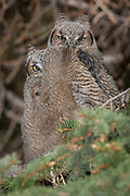 Great horned owl chicks exhibitng branching behavior