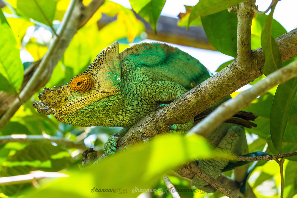 The Parson's chameleon (Calumma parsonii) is a large species of chameleon that is endemic to isolated pockets of humid primary forest in eastern and northern Madagascar.