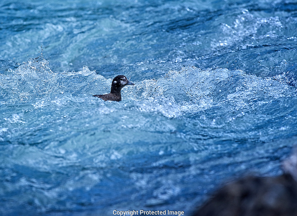 Harlequin Ducks.  (Histrionicus histrionicus), British Columbia, canada,