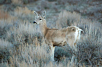 Mule Deer (Odocoileus hemionus), Sand Wash Basin, Colorado, USA