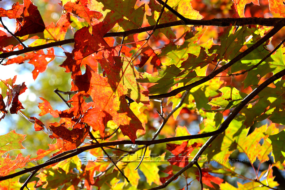 Fall Maple Leaves in Color.
