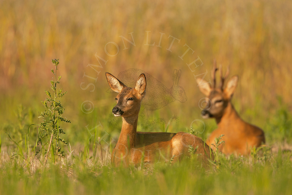 Western Roe Deer (Capreolus capreolus) adult fenale and male resting in set-aside field, Norfolk, UK.