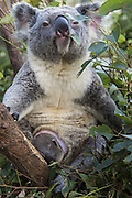 Koala <br /> Phascolarctos cinereus<br /> Mother and seven-month-old joey in pouch<br /> Queensland, Australia<br /> *Captive