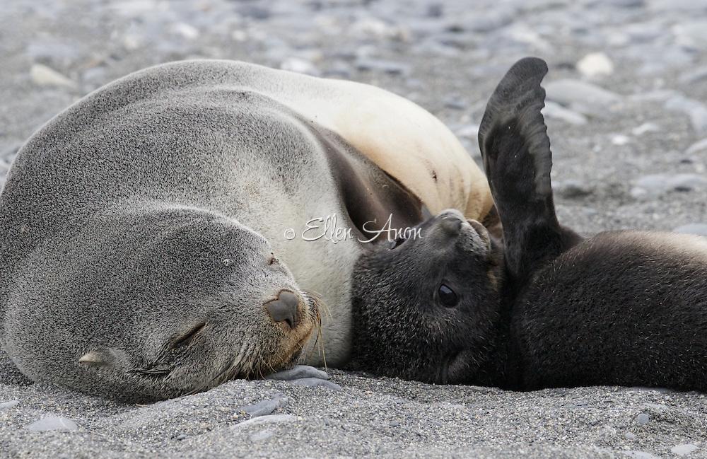 newborn seal, South Georgia Island