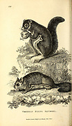 Flying Squirrels from General zoology, or, Systematic natural history Vol 2 Mammalia, by Shaw, George, 1751-1813; Stephens, James Francis, 1792-1853; Heath, Charles, 1785-1848, engraver; Griffith, Mrs., engraver; Chappelow. Copperplate Printed in London in 1801 by G. Kearsley