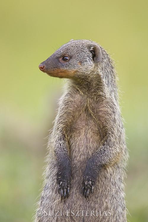 Banded Mongoose<br /> Mungos mungo<br /> Masai Mara Triangle, Kenya