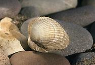 Common Cockle - Cerastoderma edule