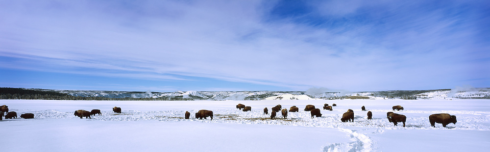 A bison herd grazing during the wintertime. Yellowstone National Park, Wyoming