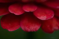 Red Zinnia petals seen through an 180mm macro lens.