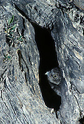 Little Owl (Athene noctua). Chick popping out from its nest hole in an old olive tree.  Malaga province, Andalucia, Spain.