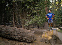 Man posing on top of a cut redwood tree stump in Yosemite