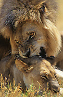 Male Lion biting Lioness on savannah