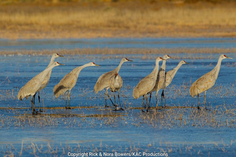 Sandhill Crane <br /> Grus canadensis tabida <br /> Bosque del Apache National Wildlife Refuge, New Mexico, United States<br /> 16 December        Adult Greater Sandhill Cranes preparing to take flight.           Gruidae