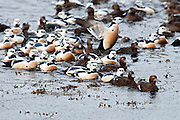 Steller's Eiders, Polysticta stelleri, flock, Barent's Sea, Norway