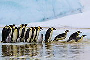 A Line of Diving Penguins