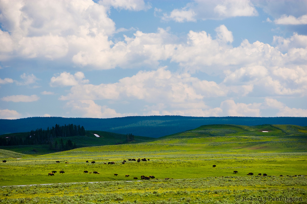Herd of Buffalo moving across an open meadow in Yellowstone National Park, Wyoming