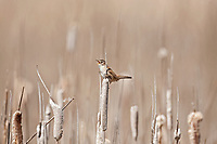 An adult Marsh Wren sits high atop a cattail chattering its song quickly to whoever will listen.