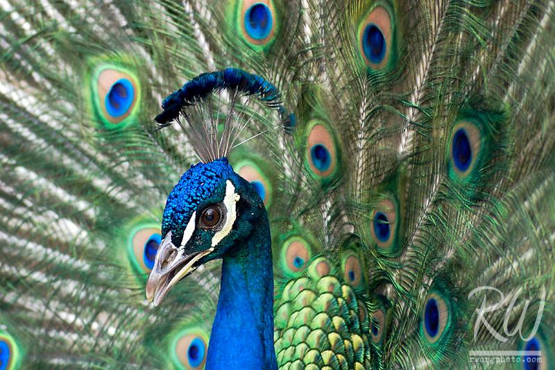 Peacock at Los Angeles County Arboretum, Arcadia, California